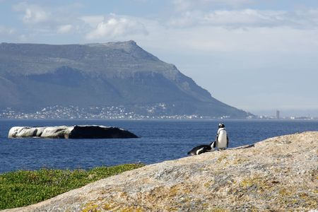 jackass: Landscape - African (Jackass or Blackfooted) Penguins (Sphensicus demersus) on the coast against bay, mountain and sky. cape town  south africa Stock Photo