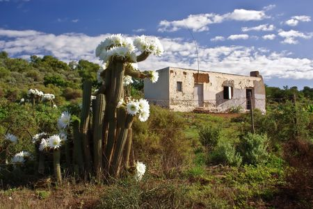 unkempt: flowering cactus against desolate country house in savannah of south africa