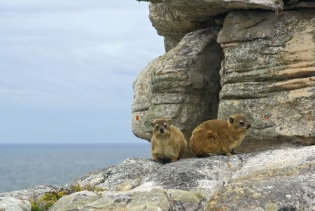 gen: pair of rock hyrax (Procavia gen) - south africa mountains inhabitant. Rodent like apperance, but related to the elephant