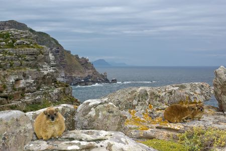 cape of good hope: African rock hyrax - dassy, against Cape Good Hope slopes, atlantic ocean and grey cloudy sky