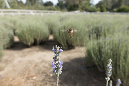 florets: A honey bee flares for a landing on a mature lavender flowers� purple florets in a lavender farm field. Stock Photo