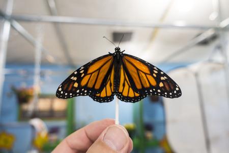 黒い静脈とトゥニー オレンジ羽と白と黄色の斑点のふ化モナーク蝶の男の親指と人差し指で開催された q ティップの土地します。