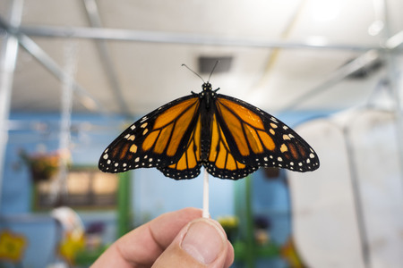 A freshly hatched Monarch Butterfly, with its tawny-orange wings with black veins and white and yellow spots, lands on a Q-Tip held by mans thumb and index finger.