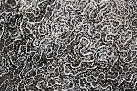 brain coral: Brain coral (Diploria labyrinthiformis), petrified, Puerto rico