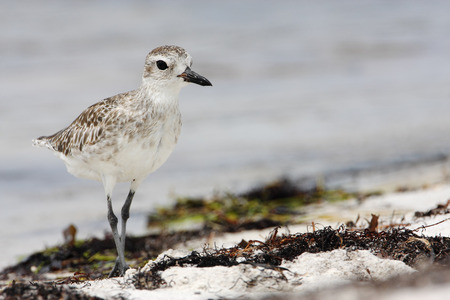 Black-bellied plover (Pluvialis squatarola) walking on beach, Curry Hammock State Park, Florida, USA