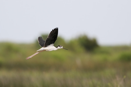 Black-necked stilt (Himantopus mexicanus) immature flying, Bolivar Peninsula, Texas, USA