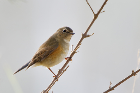 Red-flanked Bluetail (Tarsiger cyanurus) sitting on branch, Wassenaar, the Netherlands