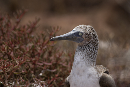 boobie: Blue-footed booby (Sula nebouxii), portrait, North Seymour, Galapagos Islands