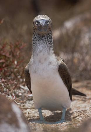 boobie: Blue-footed booby (Sula nebouxii), North Seymour, Galapagos Islands