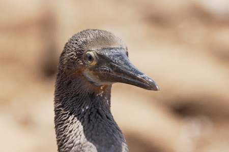 boobie: Blue-footed booby (Sula nebouxii) head portrait, immature, North Seymour, Galapagos Islands