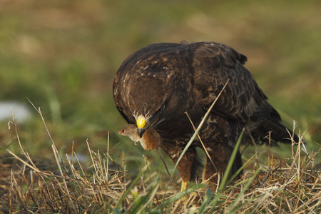 buteo: Common Buzzard (Buteo buteo) eating a mouse, the Netherlands