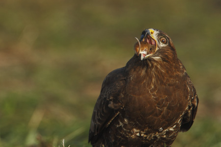 Common Buzzard (Buteo buteo) eating a mouse, the Netherlands