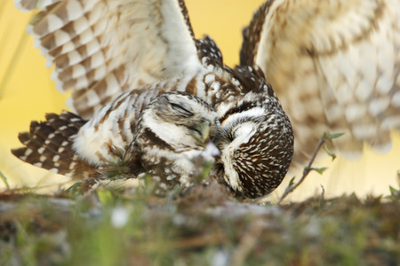 Burrowing owl (Athene cunicularia floridana) copulating, Cape Coral, Florida, USA