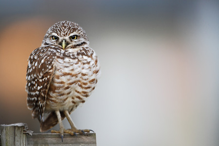 burrowing: Burrowing owl (Athene cunicularia floridana) looking  into camera, Cape Coral, Florida, USA