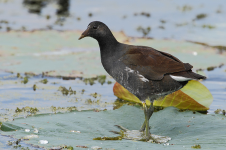 Common gallinule (Gallinula galeata) standing on water lily leaf, Brazos Bend State Park, Texas, USA