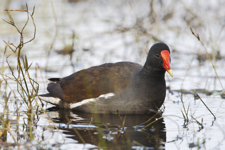Common gallinule (Gallinula galeata) searching for food in swamp, Kissimmee, Florida, USA
