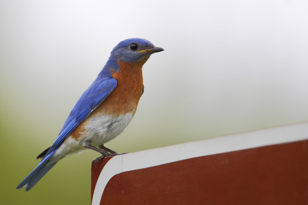 Eastern bluebird (Sialia sialis) on refuge road sign, Bombay Hook NWR, Delaware, USA