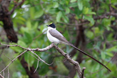 Tyrannus tyrannus stock photos royalty free tyrannus tyrannus images fork tailed flycatcher tyrannus savana on tree branch showing yellow crest brasilia thecheapjerseys