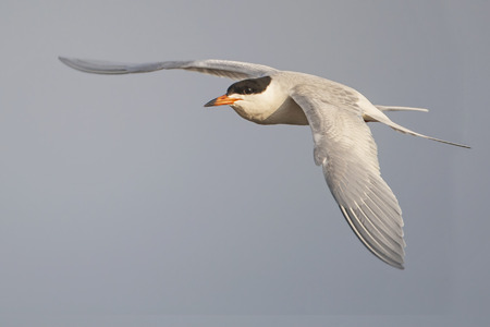 Forsters tern (Sterna forsteri) in flight,  Edwin B. Forsythe National Wildlife Refuge, New Jersey, USA Stock Photo