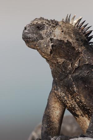 갈라파고스 해양 이구아나 (Amblyrhynchus cristatus), Tortuga Bay, Santa Cruz, Galapagos Islands 스톡 콘텐츠 - 72162044