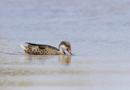 bahama: White-cheeked pintail (Anas bahamensis), Las Bachas Beach, Santa Cruz, Galapagos Islands