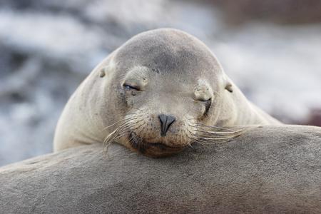 Galapagos Sea Lion, head portrait, South Plaza, Galapagos Islands