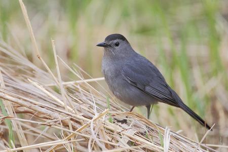 Gray catbird (Dumetella carolinensis), Bombay Hook NWR, Delaware, USA Stock Photo