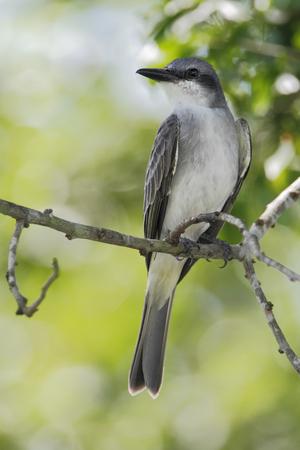 tyrant: Gray King bird (Tyrannus dominicensis) sitting on branch, Laguna Cartegena, Puerto Rico