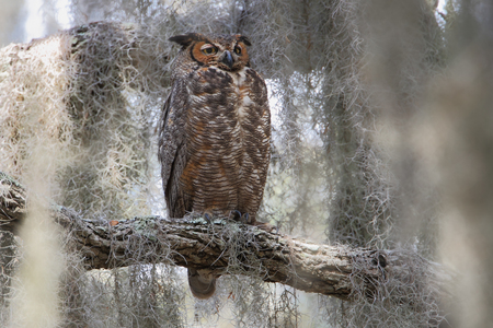 Great horned owl (Bubo virginianus) in tree, Kissimmee, Florida, USA Stock Photo