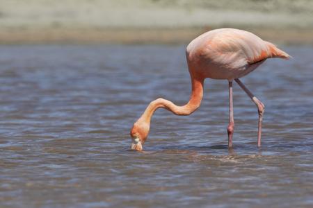 Galapagos Greater Flamingo (Phoenicopterus Ruber) searching food, Las Bachas Beach, Santa Cruz, Galapagos Islands