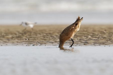 Marbled godwit (Limosa fedoa) feeding on beach, Bolivar Peninsula, Texas, USA