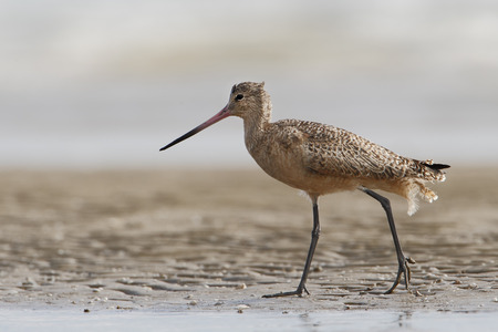 Marbled godwit (Limosa fedoa) walking on beach, Bolivar Peninsula, Texas, USA