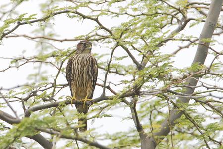 merlin falcon: Merlin (Falco columbarius) sitting in tree, Cabo Rojo Salt Flats, Puerto Rico