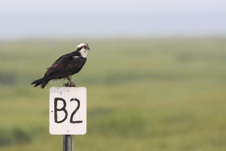 Osprey (Pandion haliaetus) on pole, Edwin B. Forsythe National Wildlife Refuge, New Jersey, USA Stock Photo