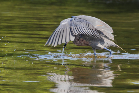 Reddish Egret (Egretta rufescens) with wings spread catching fish in shallow water, Ding Darling NWR, Florida, USA