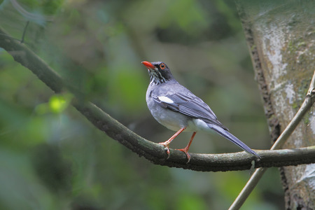 rain forest animal: Red-legged Thrush, El Yunque Rain Forest, Puerto Rico Stock Photo