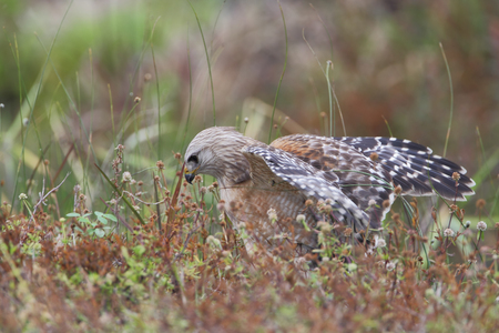 sitting on the ground: Red-shouldered Hawk (Buteo lineatus) sitting in field on the ground, Florida, USA Stock Photo