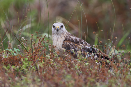 shouldered: Red-shouldered Hawk (Buteo lineatus) sitting in field on the ground, Florida, USA Stock Photo
