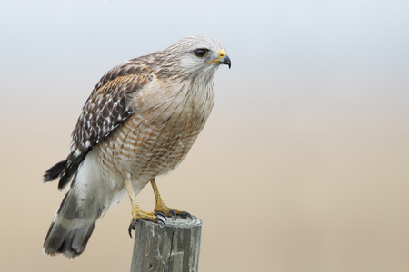 Red-shouldered Hawk (Buteo lineatus) standing on fence post, Florida, USA Stock Photo