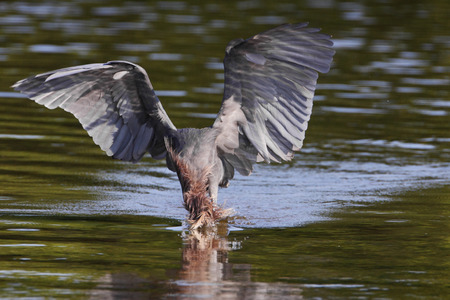 Reddish Egret (Egretta rufescens) with wings spread fishing in shallow water, Ding Darling NWR, Florida, USA