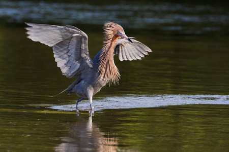 beine spreizen: Reddish Egret (Egretta rufescens) with wings spread fishing in shallow water, Ding Darling NWR, Florida, USA