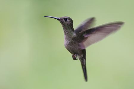 Sombre Hummingbird (Aphantochroa cirrochloris) flying against clean background, Itanhaem, Brazil