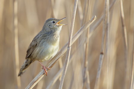 common reed: Common grasshopper warbler (Locustella naevia) singing in reed, Netherlands