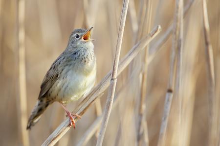 Common grasshopper warbler (Locustella naevia) singing in reed, Netherlands