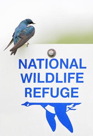 Tree swallow (Tachycineta bicolor) on refuge roadsign, Bombay Hook NWR, Delaware, USA Stock Photo