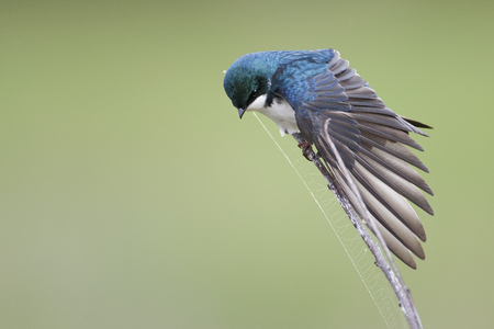 Tree swallow (Tachycineta bicolor) displaying wing, Bombay Hook NWR, Delaware, USA Stock Photo