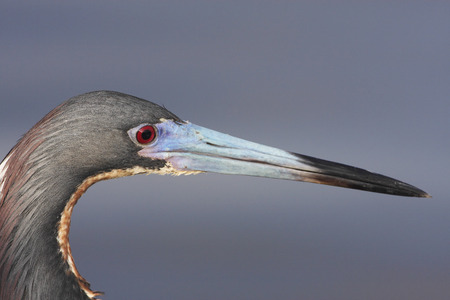 Tricolored heron (Egretta tricolor) portrait, Ding Darling NWR, Florida, USA