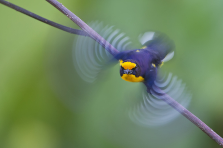 Violaceous Euphonia (Euphonia violacea) male flying away from branch in garden, Itanhaem, Brazil