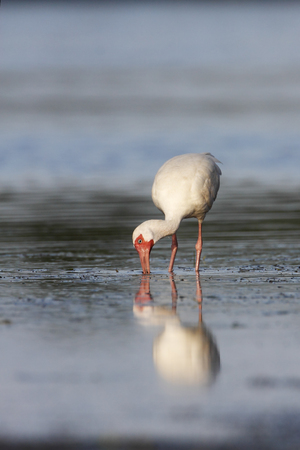 American White Ibis (Eudocimus albus) foraging in water, Curry Hammock State Park, Florida, USA