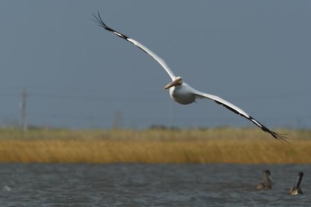 American white pelican (Pelecanus erythrorhynchos) flying, Bolivar Peninsula, Texas, USA Stock Photo